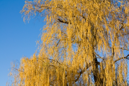 Willow autumn photo