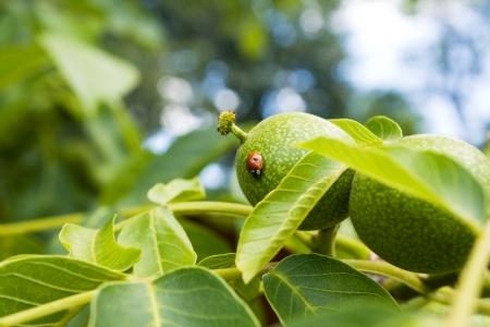 Ladybird on a walnut
