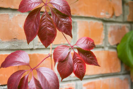 Leaves of vine on a background a brick wall photo
