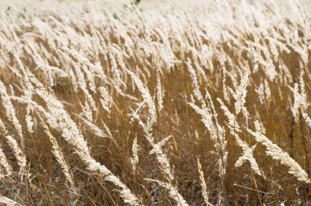 Grass dry