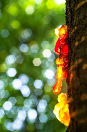 Resin on the trunk of tree Stock Photo