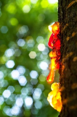 Resina sul tronco di albero