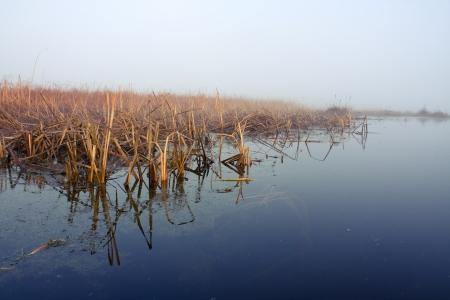 Reed in fog