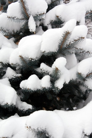 Fir-tree in to snow photo