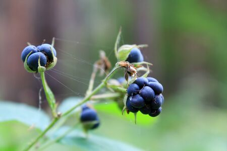 Berries of blackberry on a sprig photo