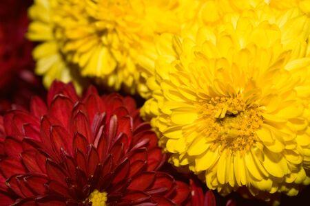 Crisantemi sono uno sfondo