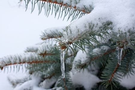 Branches of fir-tree in to snow Stock Photo