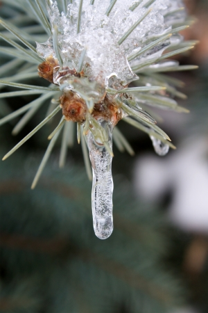 Frozen sprig of fir-tree