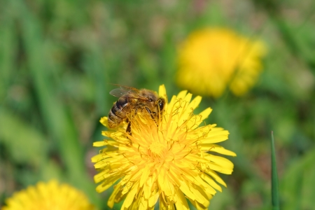 Bee on a dandelion photo