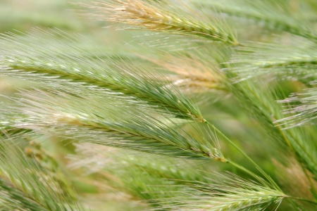 Growing wild wheat
