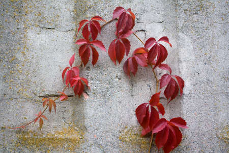 clinging: Sprig of vine on a wall