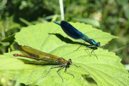 Two damselfly on a leaf Stock Photo