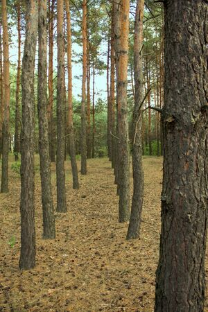 Boschi di conifere