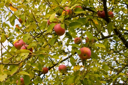 garden of eden: Apples on a tree