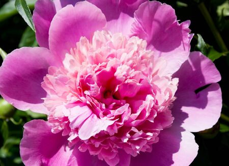 Flower is peony among green leaves Stock Photo