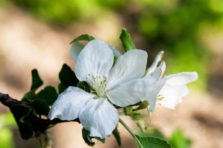 Flowering apple-tree