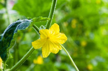 Flower of cucumber Stock Photo