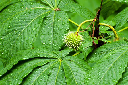 Seed of chestnut among leaves