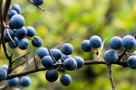Berries of sloe on an autumn sprig