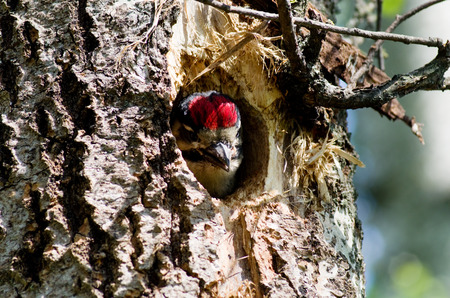 posterity: Nestling in the hollow of a woodpecker