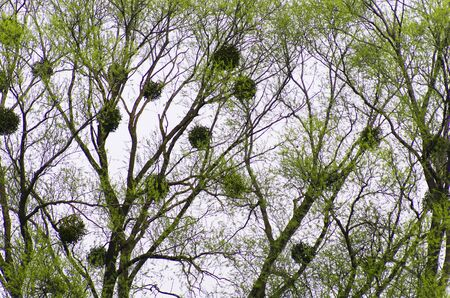 Spring trees against the sky with mistletoe