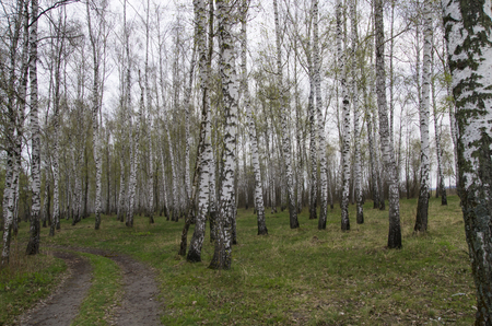 Landscape of a birch grove in the spring