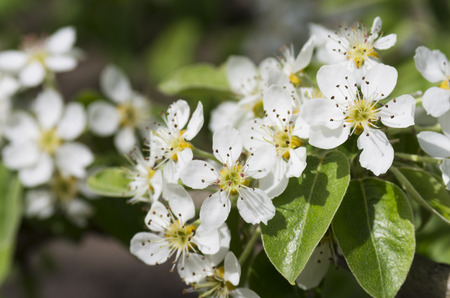 White flowers blossoming pears in spring