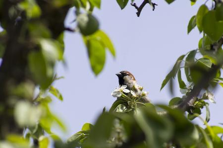 Sparrow on a flowering pear