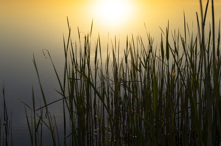 Stems of young reeds against the background of the water at sunset