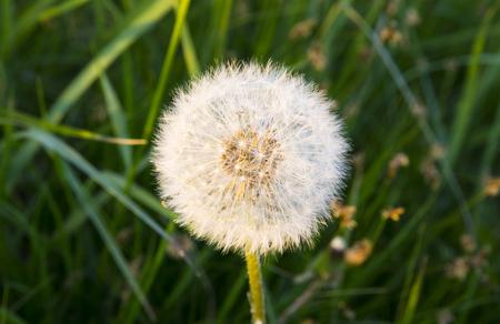 Dandelion white on grass background