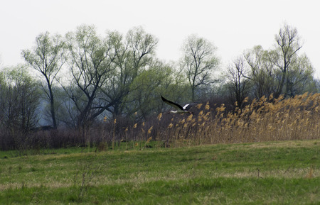 The stork flies over the spring field