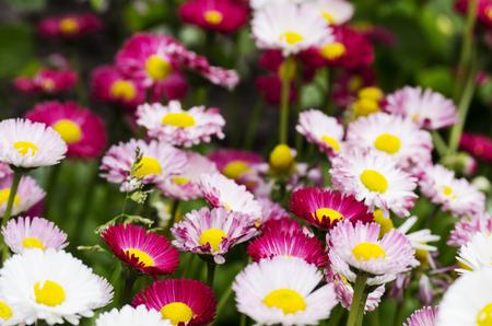 Flowering daisies in the field, Pyrethrum