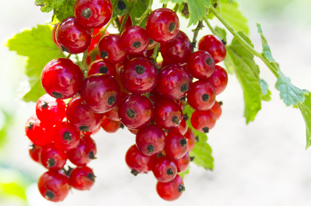 Red currant on twigs, ripe