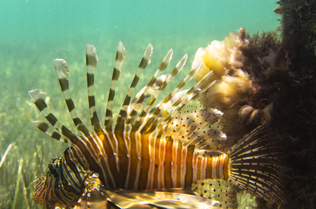 A bright fish is a lionfish at the green bottom. Pterois volitans Stock Photo
