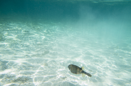 Fish hover over the sandy bottom. Ostracion cubicus