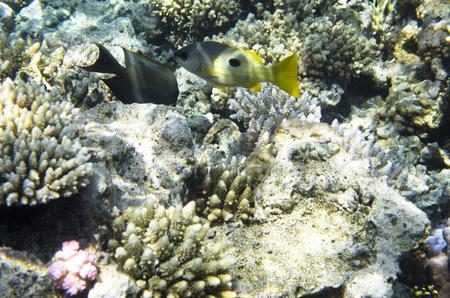Bright fish near the coral. Lutianidae. Chaetodon austriacus. Pomacentrus sulfureus