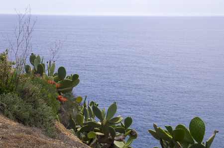 Cacti on the cliffs of the Mediterranean Sea