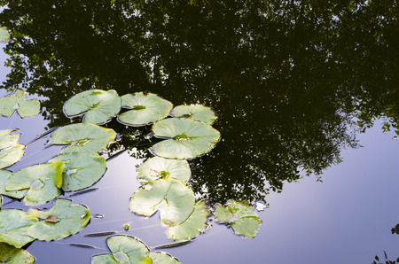 Water lily leaves on the water surface Banco de Imagens