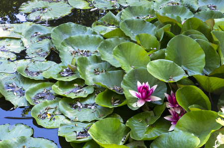 Pink lilies among green leaves