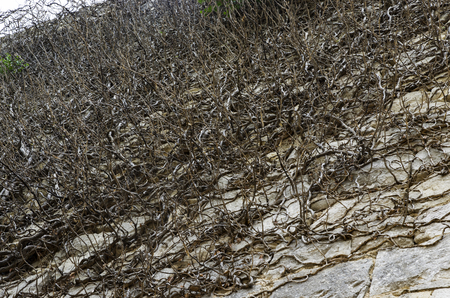 Overgrown wall climbing plant, dried Фото со стока - 119648352