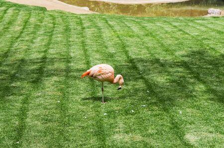 Lonely pink flamingo on green field Archivio Fotografico - 132270265