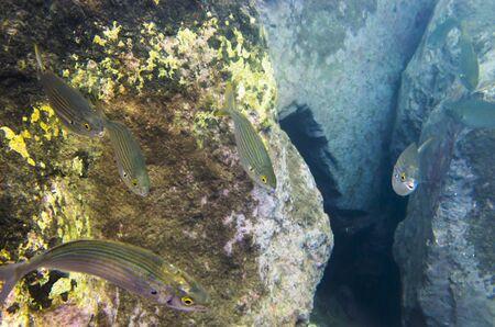Sea fish salpa at stone bottom