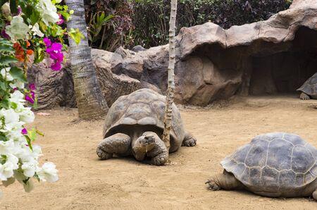 Several galapagos turtles on the ground Archivio Fotografico - 132073061