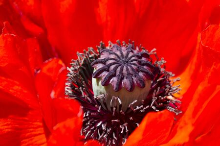 Large red poppy flower, one Archivio Fotografico - 132270263