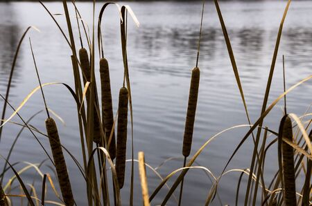 Dry cattail on the background of the pond