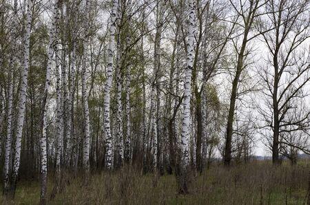 Birch grove in early spring, landscape Archivio Fotografico - 132074157