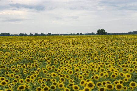 Field with blooming and sunflower, landscape Archivio Fotografico - 132073920