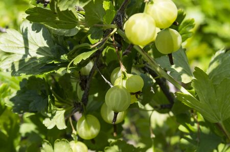 Gooseberry berries on a twig with green leaves Archivio Fotografico - 132072726