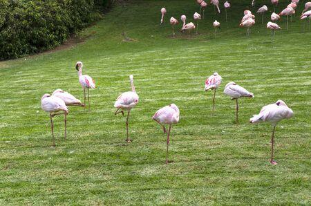 Flock of flamingo birds on a green lawn Archivio Fotografico - 132074084