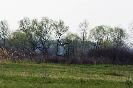 A stork bird flies over a spring field Archivio Fotografico - 132074015